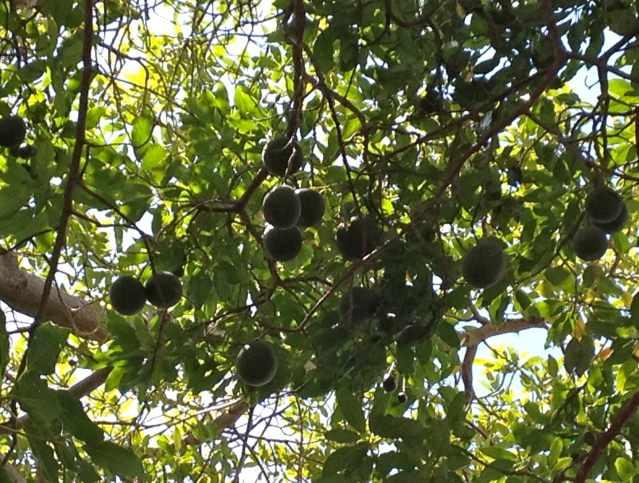 fruit orange are avocados fruit