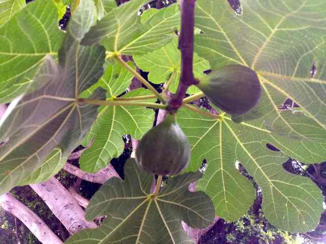 Higos! That's figs, in Spanish. Now you know a new word.