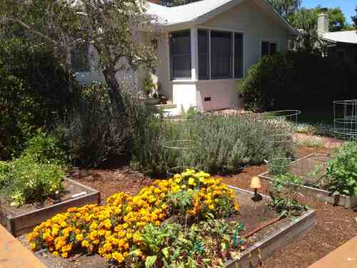 Front Yard Vegetable Garden Marigolds and Tomatoes in Raised Beds