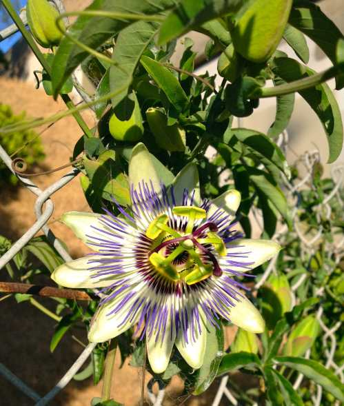 Wild passion fruit flower. That's hot.